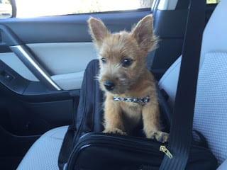 puppy, norwich terrier