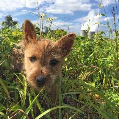road trip, puppy, norwich terrier,