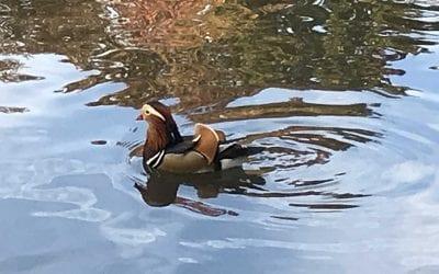 Celebrity Duck Takes Manhattan!
